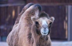 animale sorridente del cammello Fotografie Stock Libere da Diritti