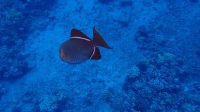 Animale subacqueo in acqua tropicale fotografia stock