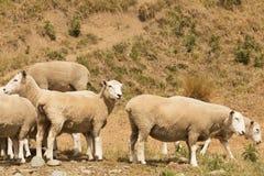 Animale sveglio dell'allevamento di pecore del bambino Fotografia Stock