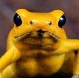 Animale tossico del veleno della rana gialla del dardo Fotografia Stock