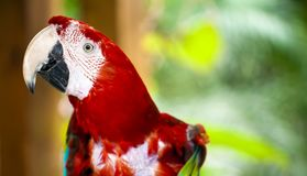 Animale tropicale dell'uccello selvaggio del pappagallo Fotografia Stock