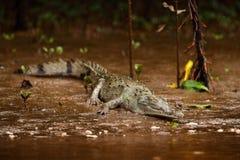 Animale vicino al fiume Ritratto del coccodrillo, coccodrillo nell'acqua con il sole di sera Coccodrillo da Costa Rica Caimano ne Immagini Stock Libere da Diritti