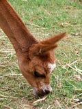 Animales - alpaca Imagenes de archivo