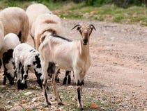 Animales blancos de la cabra Imágenes de archivo libres de regalías