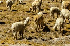 Animales de la alpaca, fauna Perú Fotografía de archivo