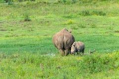 Animales de la fauna del becerro del rinoceronte foto de archivo libre de regalías