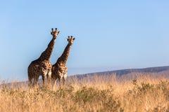 Animales de la fauna del paisaje de las jirafas Foto de archivo libre de regalías