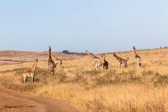 Animales de la fauna del paisaje del becerro de las jirafas imagen de archivo