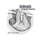 Animales de la pereza de Suramérica Foto de archivo