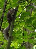 Animales de los árboles de la ardilla Foto de archivo
