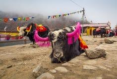 Animales de los yacs usados para el paseo turístico cerca del lago Tsomgo Changu, Sikkim del este la India Fotografía de archivo