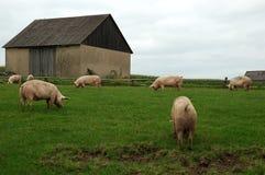 Animales del campo - cerdos Imagen de archivo libre de regalías
