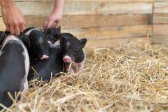 Animales del campo: Cochinillo manchado divertido, cerdos barrigones del bebé lindo en una granja imagen de archivo libre de regalías