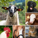 Animales del campo - collage foto de archivo libre de regalías