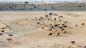 Animales del campo de las cabras y de las ovejas Imagenes de archivo