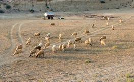 Animales del campo de las cabras y de las ovejas Imagen de archivo