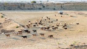 Animales del campo de las cabras y de las ovejas Fotografía de archivo libre de regalías