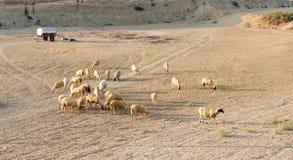 Animales del campo de las cabras y de las ovejas Fotos de archivo libres de regalías