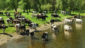 Animales del campo en el río almacen de video
