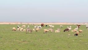Animales del campo en pasto almacen de metraje de vídeo