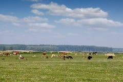 Animales del campo en pasto Fotografía de archivo libre de regalías