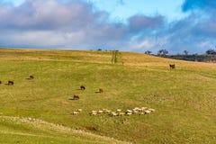 Animales del campo en prado Paisaje de la agricultura interior Fotografía de archivo libre de regalías