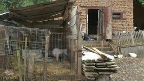 Animales del campo en yarda del pueblo metrajes