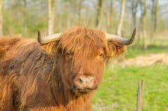 Animales del campo - ganado de la montaña Imagen de archivo libre de regalías