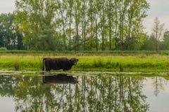 Animales del campo - ganado de la montaña Foto de archivo libre de regalías