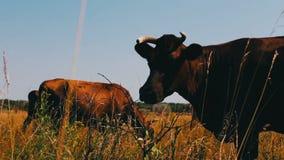 Animales del campo Industria de la agricultura El ganado acobarda el pasto en el campo Vaca de leche que come la hierba almacen de metraje de vídeo