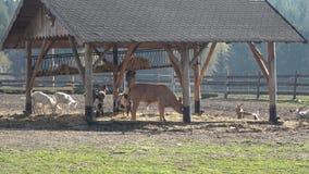 Animales del campo Muchas cabras marrones y blancas en corral almacen de metraje de vídeo