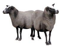Animales del campo - ovejas aisladas en el fondo blanco foto de archivo