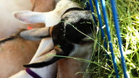 Animales del campo que comen el heno almacen de metraje de vídeo