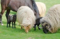 Animales del campo que pastan Imagen de archivo libre de regalías