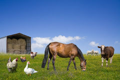 Animales del campo que pastan en el campo verde Imágenes de archivo libres de regalías