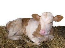 Animales del campo - vaca del becerro aislada en el fondo blanco foto de archivo