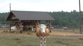 Animales del campo: vacas y ovejas metrajes