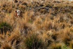 Animales del ganado entre los pastos Acobarda marrón y blanco foto de archivo