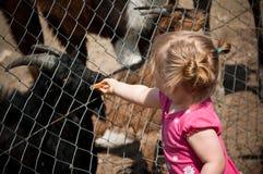 Animales del parque zoológico de la muchacha que introducen Fotos de archivo libres de regalías