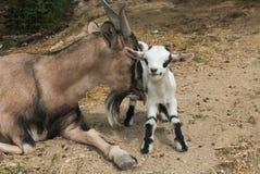 Animales divertidos: la cabra tibetana lame a su hijo fotografía de archivo libre de regalías