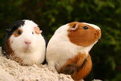 Animales domésticos curiosos Imagen de archivo