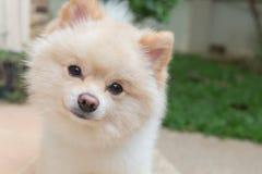 Animales domésticos lindos del pequeño perro de Pomeranian amistosos en hogar imagen de archivo libre de regalías