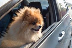 Animales domésticos lindos del perro de Pomeranian en coche Fotografía de archivo libre de regalías