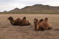 Animales domésticos mongoles Fotografía de archivo