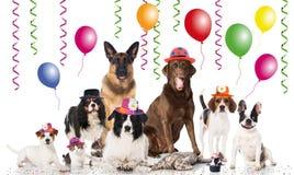 Animales domésticos del partido Fotografía de archivo