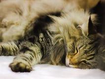 animales el dormir del gato Fotografía de archivo
