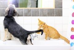 Animales en casa perro y gato que juegan junto en cuarto de baño Fotografía de archivo libre de regalías
