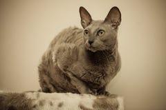 Animales en casa retrato egipcio del gato del mau Imagen de archivo