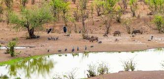 Animales en el agujero de riego Victoria Falls Safari Lodge Imagen de archivo libre de regalías