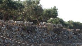 Animales en el campo con los olivos metrajes
